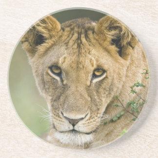 Porta-copos Leão, Panthera leo, Masai Mara, Kenya