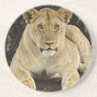 Porta-copos Leão, Panthera leo, parque nacional de Serengeti,