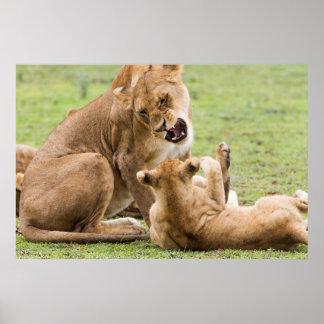 Póster A leoa Snarls em Cub