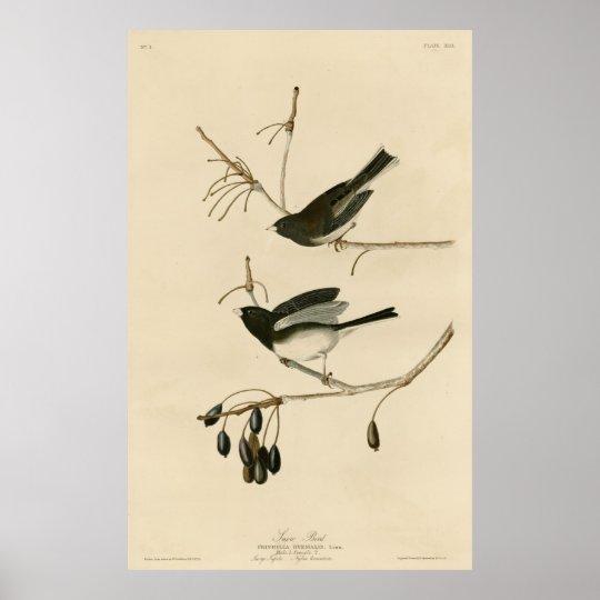 Poster Bird, America, Snow Bird, Audubon, Vintage