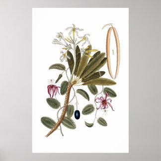 Poster botânico da baunilha pôster