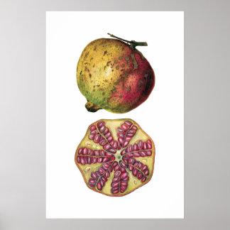Poster botânico da fruta da ROMÃ