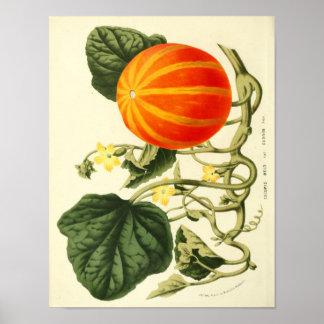 Poster botânico do vintage - abóbora pôster