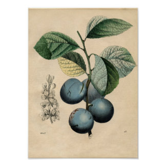Poster botânico do vintage - ameixa pôster