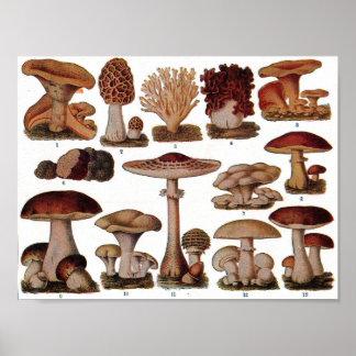 Poster botânico do vintage - família do cogumelo pôster