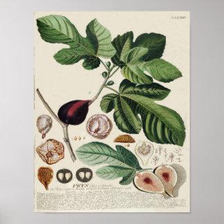 Poster botânico do vintage - figo pôster