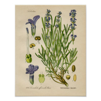 Poster botânico do vintage - lavanda pôster