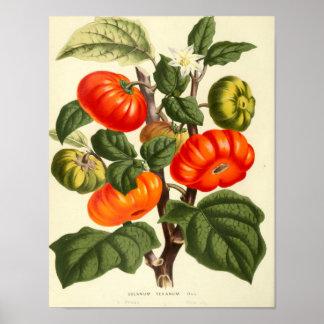 Poster botânico do vintage - tomate pôster