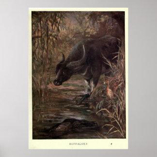 Poster Búfalo de água Pintura do vintage (1909)