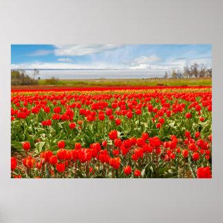 Póster Campo da tulipa