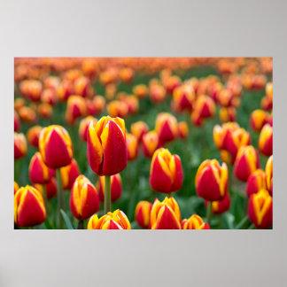 Póster Campo das tulipas