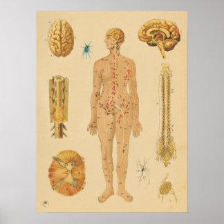 Póster Carta médica da anatomia humana do sistema nervoso