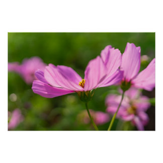Póster Cosmos cor-de-rosa