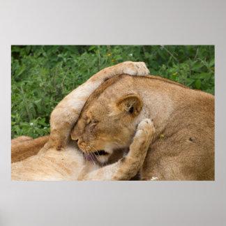 Poster Cub que joga com leoa