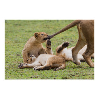 Poster Cubs que joga com leoa