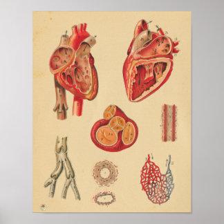 Poster Da anatomia humana das artérias do coração do