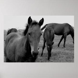 poster da fotografia dos cavalos