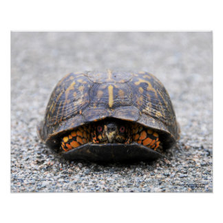 Poster da tartaruga de caixa