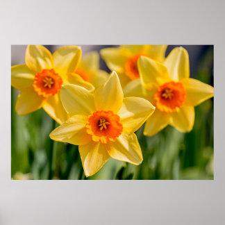 Póster Daffodils do primavera