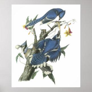 Poster de Audubon Jay azul