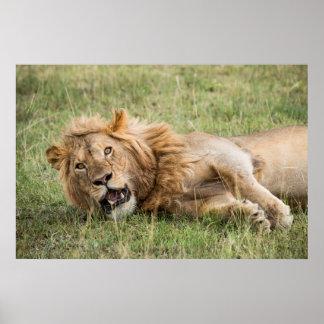 Poster Descanso masculino do leão