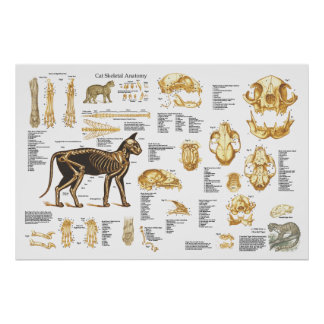 "Poster esqueletal felino 24"" da anatomia do gato X Pôster"