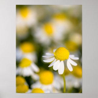 Póster Fim-acima da flor da camomila, Hungria