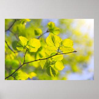 Póster Folhas do Linden