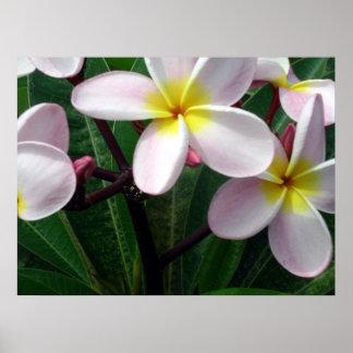 Poster havaiano do Plumeria