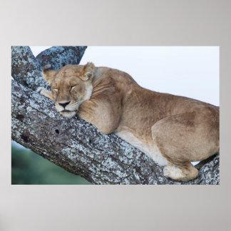 Póster Leoa que dorme na árvore