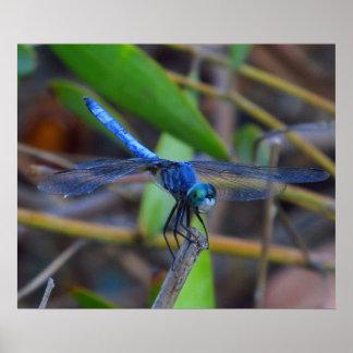 Poster - libélula azul
