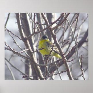 Poster - pássaro amarelo nos ramos pôster