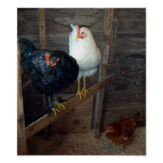Poster pequeno de 3 galinhas