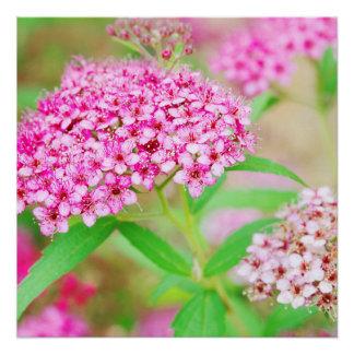 Póster Poster cor-de-rosa da explosão da flor