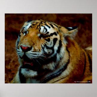 Poster - tigre - foto perto: John A. Sylvester…