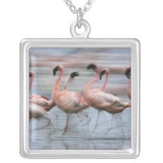 Poucos flamingos no movimento, Phoenicopterus Colar Banhado A Prata