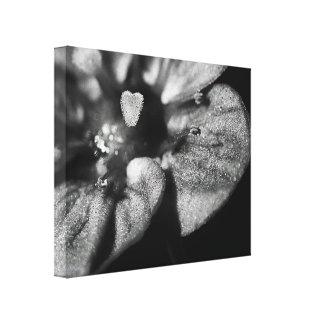 Preto & branco do Saxifraga esticado das canvas ' Impressão Em Tela