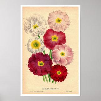 Primula botânico Sinensis do impressão do