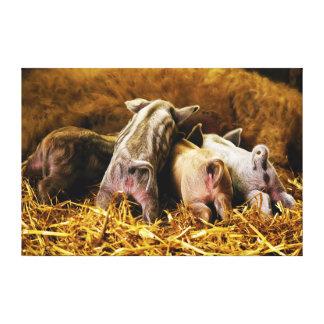 Quatro porcos de Mangalitsa do leitão do bebê que