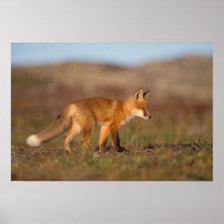 raposa vermelha, vulpes do Vulpes, ao longo da cen Poster