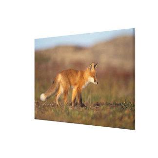 raposa vermelha, vulpes do Vulpes, ao longo da cen Impressão Em Tela