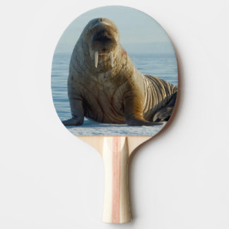 Raquete De Ping-pong Restos da morsa no gelo marinho do verão