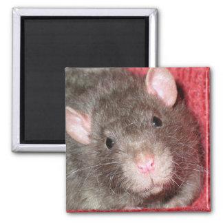 Rato bonito ímã quadrado