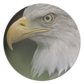 Retrato adulto da águia americana, Haliaeetus Prato De Festa