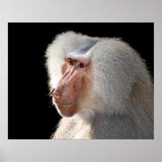 Retrato do babuíno de Hamadryas Impressão