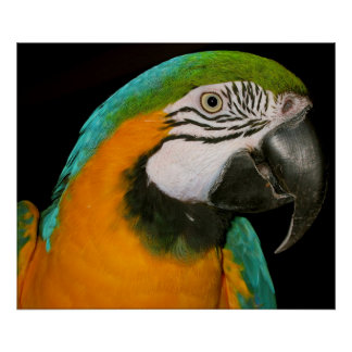 Retrato do papagaio posteres