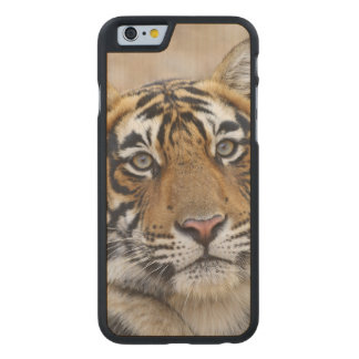 Retrato do tigre de Bengal real, Ranthambhor