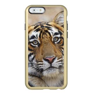 Retrato do tigre de Bengal real, Ranthambhor Capa Incipio Feather® Shine Para iPhone 6