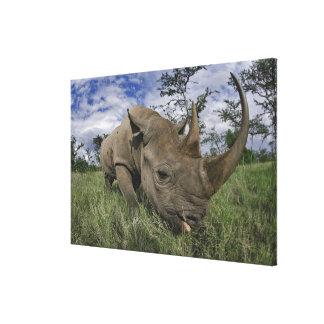 Rinoceronte preto, bicornis do Diceros, Kenya Impressão Em Canvas