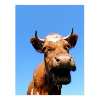 Rir vaca cartão postal